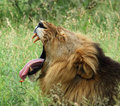 Africa: African Lion Royalty Free Stock Images
