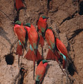 Africa-Carmine bee eaters Royalty Free Stock Photography