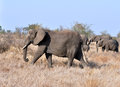 Africa elephant african herd in south Stock Photography
