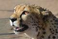 Africa. Namibia. Cheetah Royalty Free Stock Photo