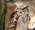 Africa Spotted Eagle Owl with Closed Eyes Royalty Free Stock Photo