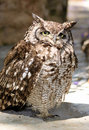 Africa Spotted Eagle Owl with Yellow Eyes Royalty Free Stock Photo