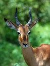 Africa Wildlife: Impala Royalty Free Stock Photo