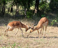 Africa Wildlife: Impala fight Royalty Free Stock Photo
