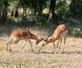 Africa Wildlife: Impala fight Royalty Free Stock Photography