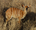 Africa Wildlife: Nyala Antelope Royalty Free Stock Photography