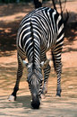 An Africa zebra Stock Images