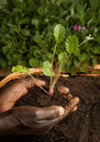 African American Gardener Planting new Plant Royalty Free Stock Image