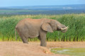 African animals elephant near waterhole addo nature reserve south africa Stock Photos