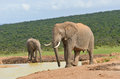 African animals elephants drinking water addo nature reserve south africa Royalty Free Stock Images