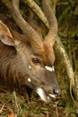 African antelope Royalty Free Stock Photo