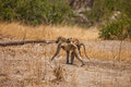 African baboon mother and baby in reserve of botswana south africa Royalty Free Stock Photography