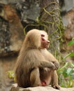 African Baboons Royalty Free Stock Photography