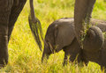 African Baby Elephant with  bodyguards Stock Image