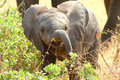 African baby elephant in the serengeti np Stock Photos