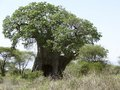 African baobab tree in tanzania in sunny ambiance Stock Photos
