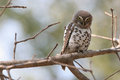 African barred owl glaucidium capense perched on a branch Royalty Free Stock Photos