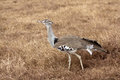 African bird kori bustard ardeotis Royalty Free Stock Photo