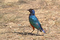 African bird superb starling on the ground a lamprotornis superbus walking Stock Images