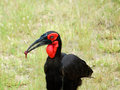 African Birds: Ground Hornbill Royalty Free Stock Images