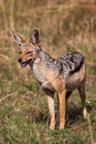 African black backed jackal, in its natural evironment. Royalty Free Stock Photo