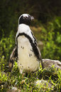 African- or Black-footed penquin Stock Photography