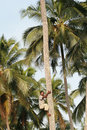 African black man climbs palm tree. Royalty Free Stock Photo