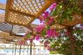 African bougainvillea - pendant garden