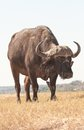 African Buffalo Stock Photo