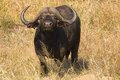 African buffalo or cape buffalo syncerus caffer in kruger national park south africa Stock Photo