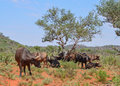 African Buffalo family group Royalty Free Stock Photo