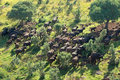 African buffalo herd Royalty Free Stock Photo