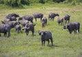African Buffalo herd grazing Royalty Free Stock Photo