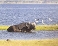African buffalo in nakuru national park in kenya Stock Photo