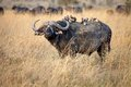 African buffalo syncerus caffer big bull with bird on the back in the savanna Stock Images
