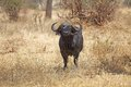African buffalo syncerus caffer bull or cape in the savanna Stock Photos
