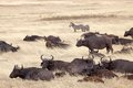 African buffalo syncerus caffer heard in the savanna Stock Photography