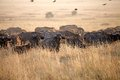 African buffalo syncerus caffer heard in the savanna in the early morning Stock Image