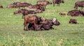 African Buffaloes family ,Tanzania Royalty Free Stock Photo