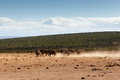 African Buffaloes scrubbing in the sand Royalty Free Stock Photo