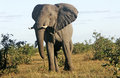 African bull elephant close up of a large Royalty Free Stock Photos