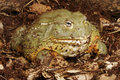 African bullfrog closeup portrait of a also called a pixie frog Stock Photos