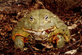African bullfrog closeup portrait of a also called a pixie frog Royalty Free Stock Photography