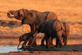 The african bush elephant, group of the elephants by the waterhole Royalty Free Stock Photo