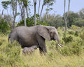 African Bush Elephant and  her baby Royalty Free Stock Images