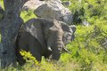 African bush elephant loxodonta africana in kruger national park south africa Stock Images