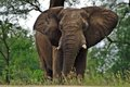 African bush elephant loxodonta africana in kruger national park south africa Royalty Free Stock Images