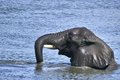 African bush elephant loxodonta africana swimming in the sabie river in kruger national park south africa Stock Image