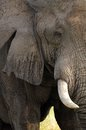 African bush elephant loxodonta africana tusker in kruger national park south africa Royalty Free Stock Image