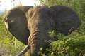 African bush elephant loxodonta africana tusker in kruger national park south africa Stock Images